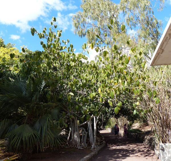 Ficus magnoliifolia Blume