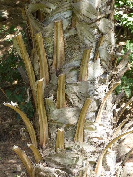 Livistona benthamii F.M.Bailey