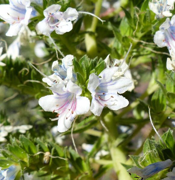 Echium onosmifolium Webb & Berthel.