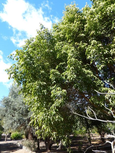 Ficus binnendijkii Miq. 'Ahi'