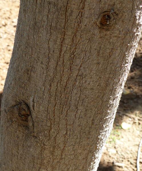 Ficus deltoidea Jack