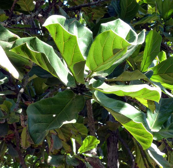Ficus lyrata Warb.