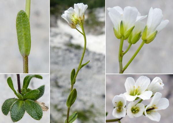 Arabis bellidifolia Crantz subsp. stellulata (Bertol.) Greuter & Burdet