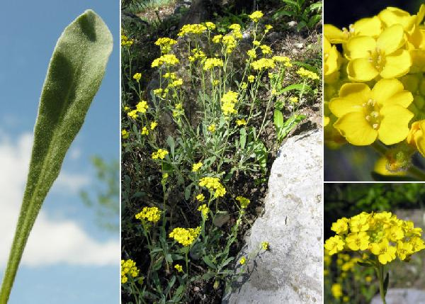 Aurinia saxatilis (L.) Desv. subsp. saxatilis