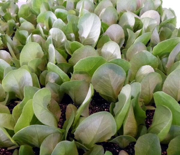Lactuca sativa L. 'Cappuccio Invernale'