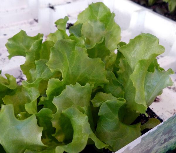 Lactuca sativa L. 'Gentilina Verde'
