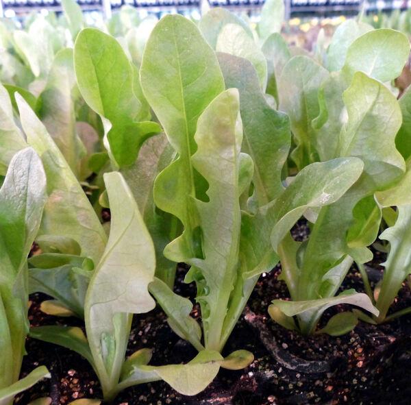 Lactuca sativa L. 'Barba dei Frati Verde'
