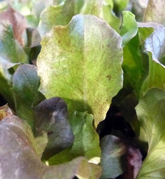 Lactuca sativa L. 'Brasiliana Bordo Rosso'