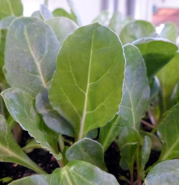 Beta vulgaris L. 'Verde a costa bianca'