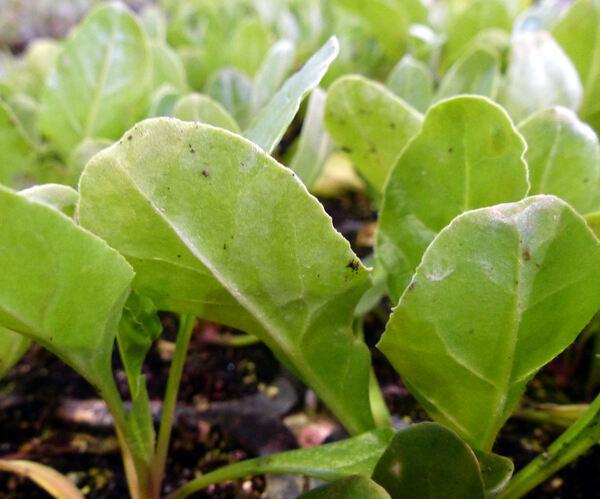 Beta vulgaris L. 'Liscia verde da taglio'