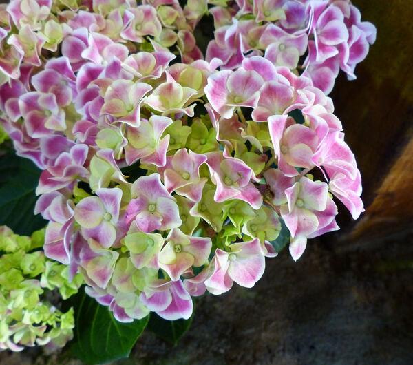 Hydrangea macrophylla (Thunb.) Ser. 'Tivoli Pink'