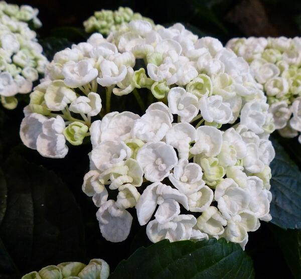 Hydrangea macrophylla (Thunb.) Ser. 'Curly Whurly White'