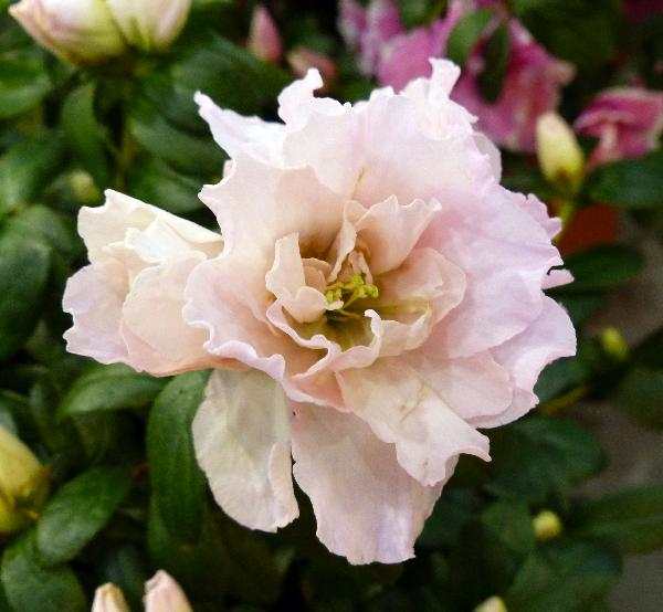Rhododendron simsii Planch. 'Terra Nova'