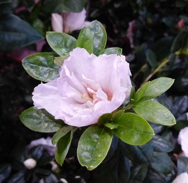 Rhododendron simsii Planch. 'Inga'