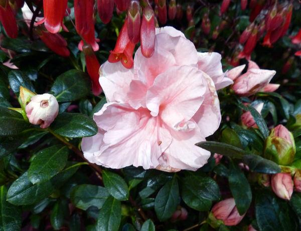 Rhododendron simsii Planch. 'Lauretta'