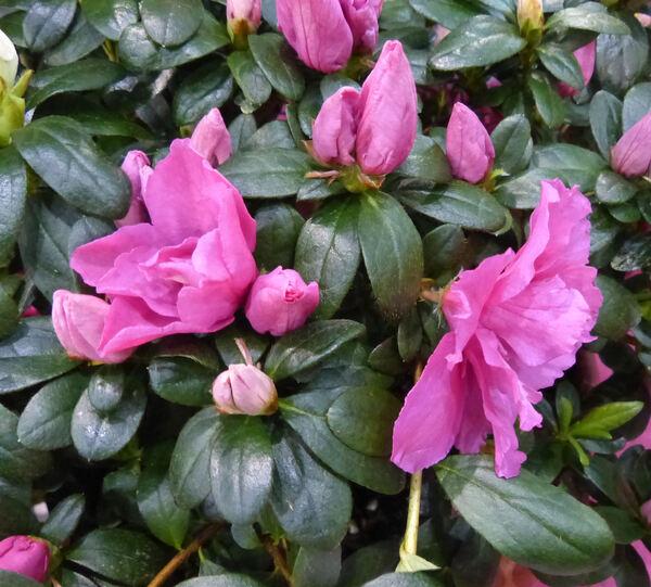 Rhododendron simsii Planch. 'Helmut Vogel'