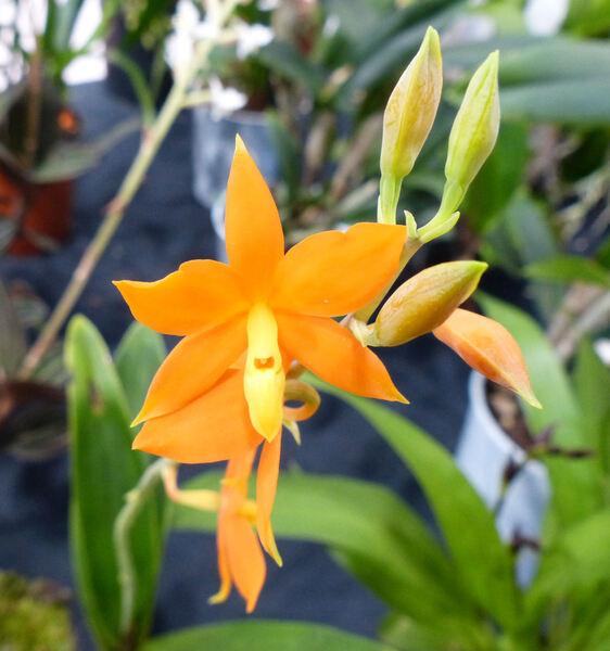 Prosthechea vitellina (Lindl.) W.E.Higgins