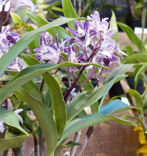 Dendrobium sp.