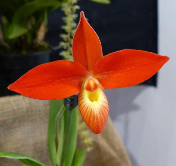 Phragmipedium 'Jersey Besseae x Dalessandroi'