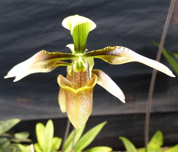 Paphiopedilum appletonianum (Gower) Rolfe