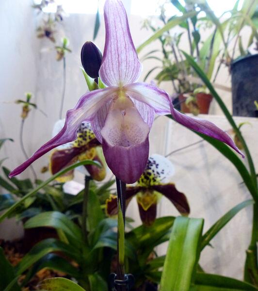 Phragmipedium x sedenii (Rchb.f.) Rolfe