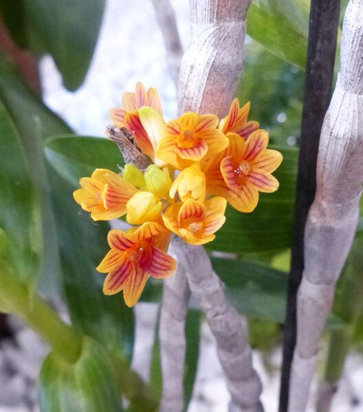 Dendrobium bullenianum Rchb.f.