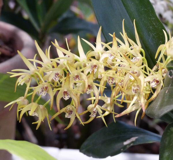 Dendrobium speciosum Sm.