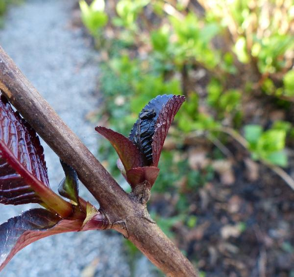 Hydrangea macrophylla (Thunb.) Ser. 'Love you kiss ®'