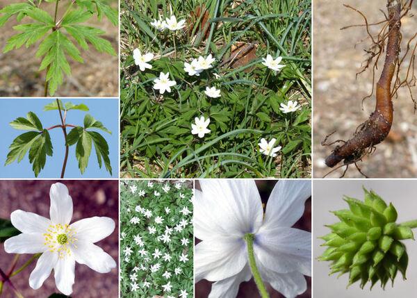 Anemonoides nemorosa (L.) Holub