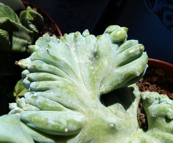 Myrtillocactus geometrizans (Mart.) Console 'Strictus'