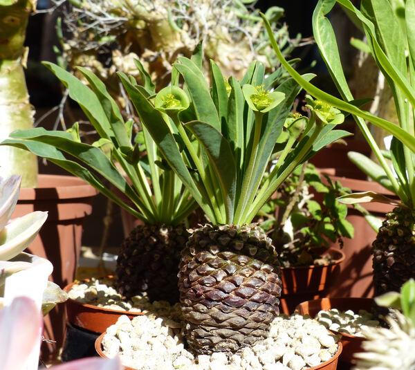Euphorbia bupleurifolia Jacq.