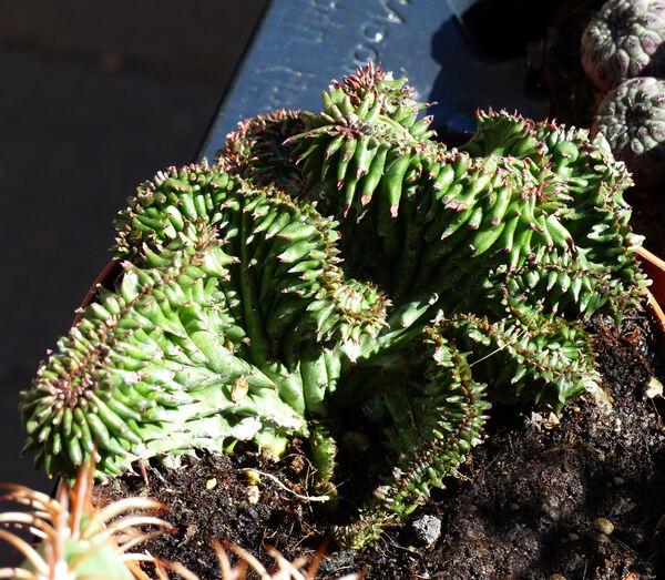 Euphorbia susannae Marloth 'Cristata'