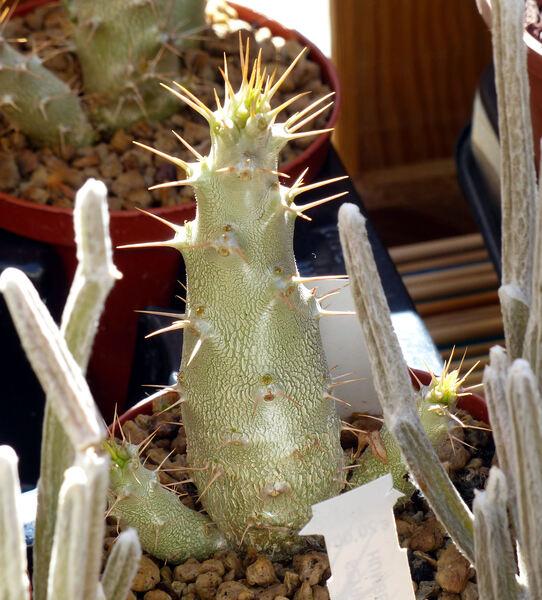 Pachypodium saundersii N.E. Br.
