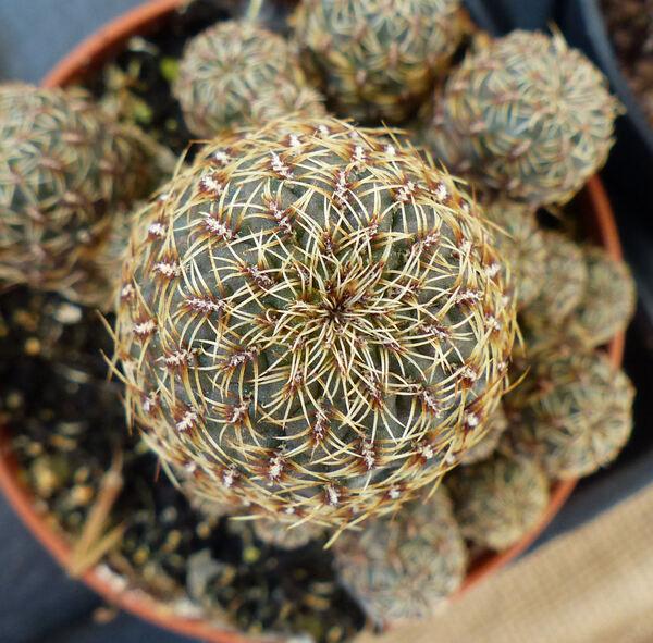 Rebutia canacruzensis Rausch