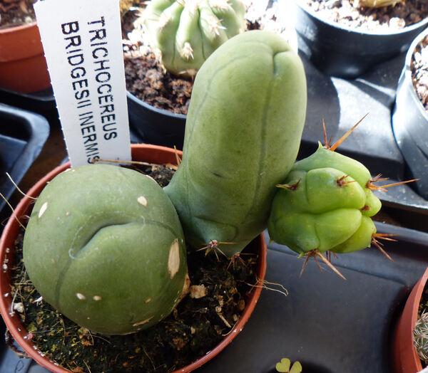 Echinopsis bridgesii Salm-Dyck