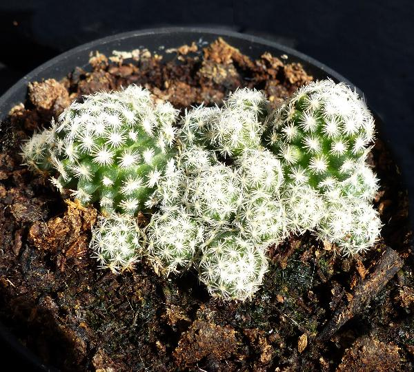 Escobaria sneedii Britton & Rose