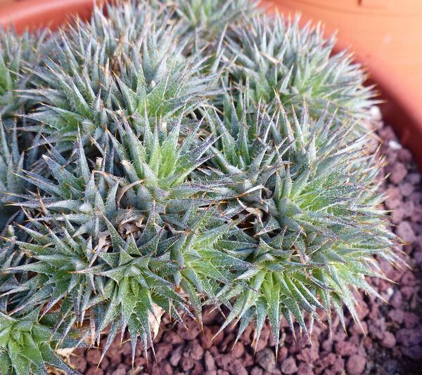 Deuterocohnia brevifolia (Griseb.) M.A.Spencer & L.B.Sm. subsp. chlorantha (Speg.) W.Schultze-Motel