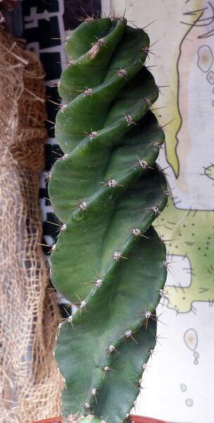 Cereus forbesii C.F.Först. 'Vortex'