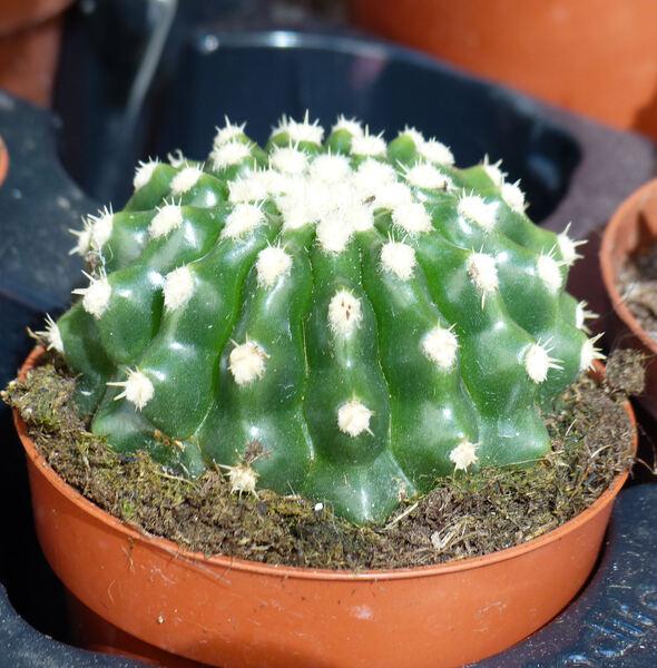 Echinocactus grusonii Hildm. 'Inermis'