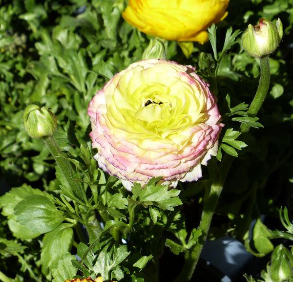 Ranunculus asiaticus L. 'Double Peony Flowering'