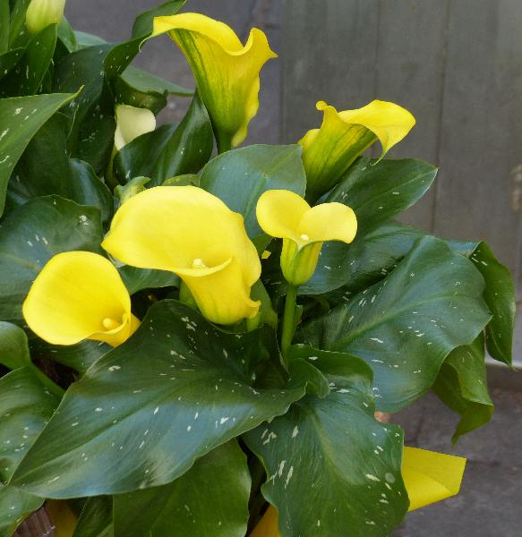 Zantedeschia 'Best Gold'