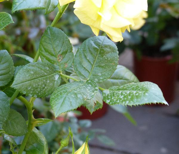 Rosa 'Golden Boy ®'