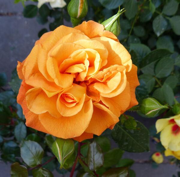 Rosa 'Precious Amber ™'