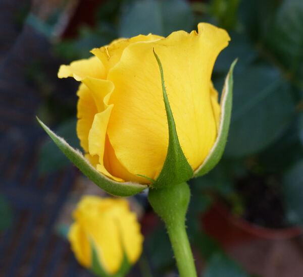 Rosa 'Precious Gold'