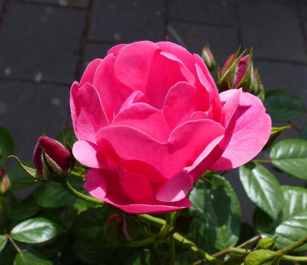Rosa 'Angela ®'