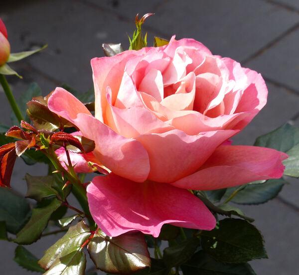 Rosa 'Belle Epoque, Cl.'
