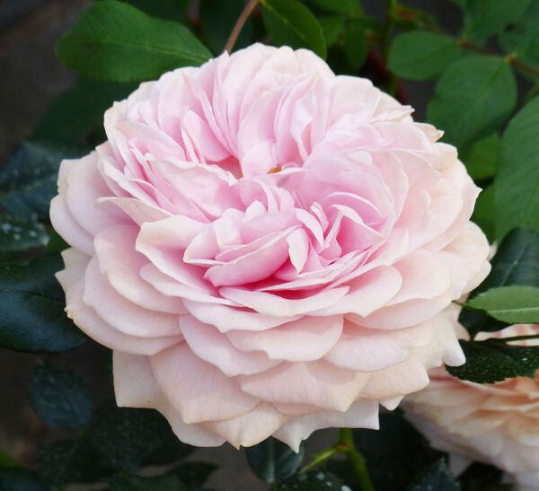 Rosa 'Joie de Vivre'