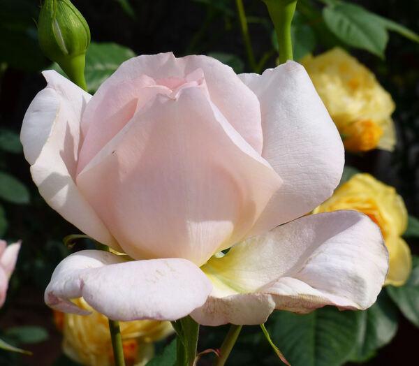 Rosa 'Sweet Love ®'