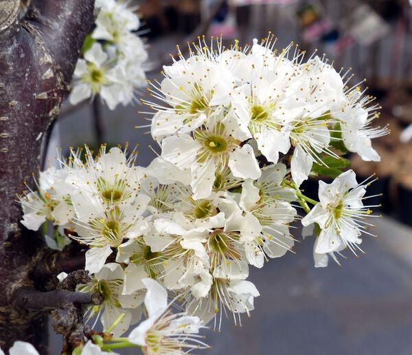 Prunus domestica L. 'Black Amber'