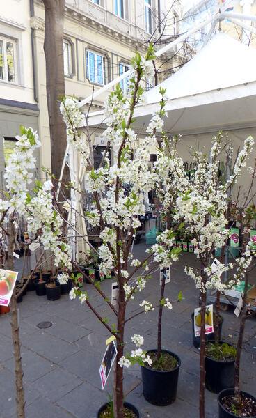 Prunus domestica L. 'Angeleno'